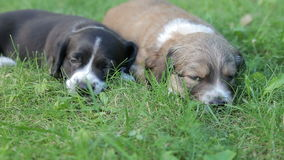Two little puppy dogs lying on the grass. In the garden stock video footage