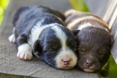 Two little puppy dogs sleeping on wooden bench.  royalty free stock images