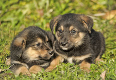 Two little puppy german shepherd dog. Royalty Free Stock Photography