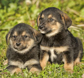 Two little puppy german shepherd dog. Royalty Free Stock Image