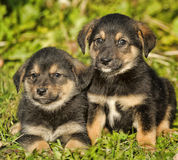 Two little puppy german shepherd dog. Royalty Free Stock Images