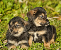 Two little puppy german shepherd dog. Stock Photos