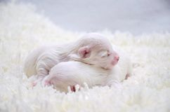 Little white Maltese puppies sleeping. Two little purebred Maltese puppy gently sleeping next to each other Royalty Free Stock Photos