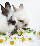 Two little rabbits Royalty Free Stock Photo