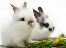 Two little rabbits stock photography