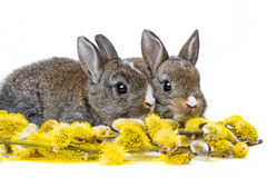 Two little rabbits and spring flowering branch Stock Image