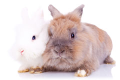 Two little rabbits standing together Royalty Free Stock Photos