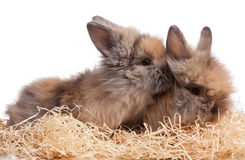 Two little Rabbits Royalty Free Stock Images