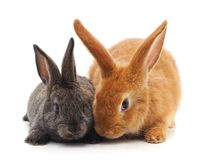 Two little rabbits. Two little rabbits on a white background royalty free stock image