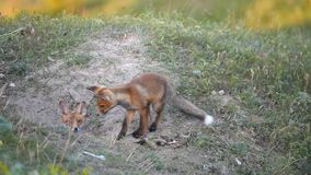 Two Little Red Fox playing near their burrows stock video