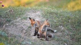 Two Little Red Fox playing near their burrows stock video footage