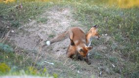 Two Little Red Fox playing near their burrows. Slow motion stock video
