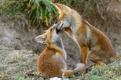 Two Little Red Fox playing near their burrows royalty free stock images