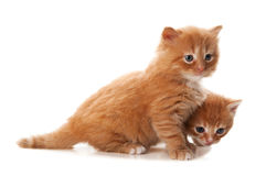 Two little red kitten Royalty Free Stock Images