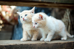 Two little red kitten Royalty Free Stock Photo