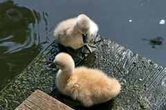 Two Little Resting Swans Stock Photo