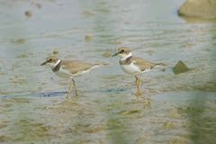 Little Ringed Plover Stock Photography