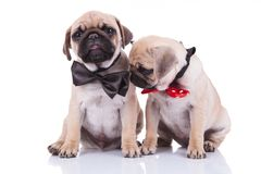 Two little sad adorable pug puppies with bowties. One of them looking down to side, while sitting on white background Stock Images