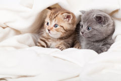 Two little scottish fold kittens Stock Photos