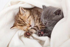 Two little scottish fold kittens. Two little funny scottish fold kittens. isolated on a white background Stock Images