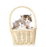 Two little scottish kittens sitting in basket. isolated on white Royalty Free Stock Photography
