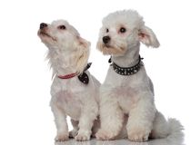 Two little seated bichons looking up and side Royalty Free Stock Image