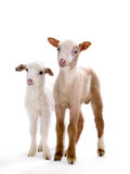 Two little sheep Stock Photography