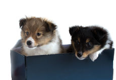 Two little sheltie puppy in a gift box. On a white background Royalty Free Stock Photo
