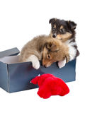 Two little sheltie puppy in a gift box Stock Images