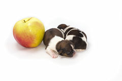 Two little shih tzu puppies in compare with the apple Stock Photography