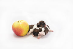 Two little shih tzu puppies are playing Royalty Free Stock Image