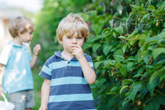 Two little sibling boys having fun with picking berries on raspb Royalty Free Stock Images
