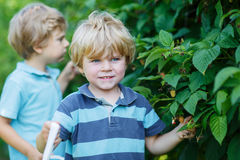 Two little sibling boys having fun with picking berries on raspb Royalty Free Stock Photo