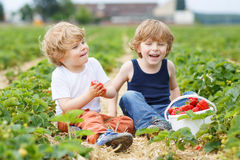 Two little sibling boys having fun on strawberry farm Royalty Free Stock Photos