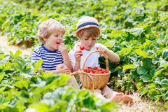 Two little sibling boys on strawberry farm in summer. Two little sibling kids boys having fun on strawberry farm in summer. Children, cute twins eating healthy royalty free stock image