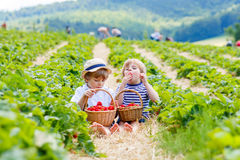 Two little sibling boys on strawberry farm in summer. Two little sibling kids boys having fun on strawberry farm in summer. Children, cute twins eating healthy Stock Photo
