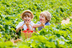 Two little sibling boys on strawberry farm in summer. Two little sibling kids boys having fun on strawberry farm in summer. Children, cute twins eating healthy stock photos