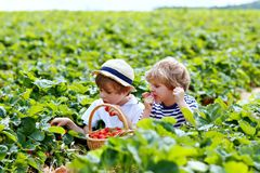 Two little sibling boys on strawberry farm in summer. Two little sibling kids boys having fun on strawberry farm in summer. Children, cute twins eating healthy stock images