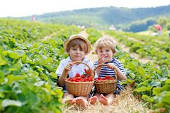 Two little sibling boys on strawberry farm in summer. Two little sibling kids boys having fun on strawberry farm in summer. Children, cute twins eating healthy stock photography