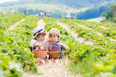 Two little sibling kids boys having fun on strawberry farm in summer. Children, cute twins eating healthy organic food royalty free stock photography