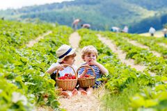 Two little sibling boys on strawberry farm in summer. Two little sibling kids boys having fun on strawberry farm in summer. Children, cute twins eating healthy royalty free stock images