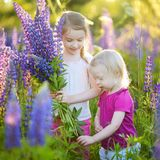Two little sisters in blooming lupine field Royalty Free Stock Images