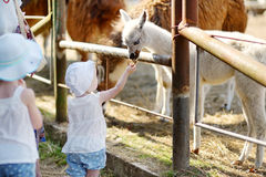 Two little sisters feeding a baby llama Stock Photography