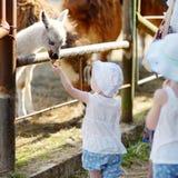 Two little sisters feeding a baby llama Stock Photos