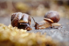 Two little snails. Royalty Free Stock Image