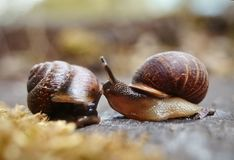 Two little snails. Royalty Free Stock Photography