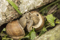 Two little snails are on the nature Stock Photography