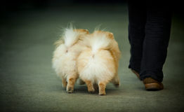 Two little spitz with owner legs Stock Photo