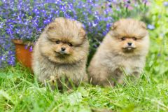 Two little Spitz puppies walking. On the green grass stock image