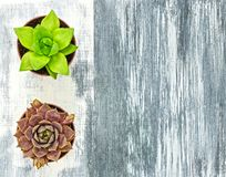 Two little succulent plants on gray artistic canvas stock image